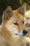 Dingo Photographic Print by Tony Camacho