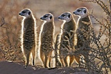 Meerkats Photographic Print by Tony Camacho