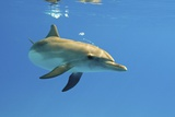 Juvenile Atlantic Spotted Dolphin Prints by Clay Coleman