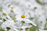 Chamomile (Anthemis Punctata Cupaniana) Photographic Print by Adrian Bicker