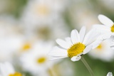 Chamomile (Anthemis Punctata Cupaniana) Posters by Adrian Bicker