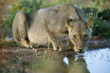 Lioness Drinking Photographic Print by Tony Camacho