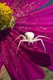 Crab Spider on a Flower Poster by Paul Harcourt Davies