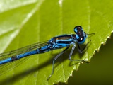 Common Blue Damselfly Photographic Print by Paul Harcourt Davies
