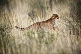 Cheetah In Grass Photographic Print by Tony Camacho