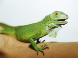 Pet Iguana Photographic Print by  Cristina