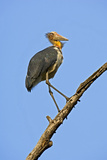 Lesser Adjutant Stork Photographic Print by Tony Camacho
