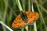 Spotted Fritillary Butterfly Poster by Paul Harcourt Davies