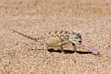 Namaqua Chameleon Catching Prey Photographic Print by Tony Camacho