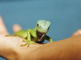 Pet Iguana Affiche par  Cristina