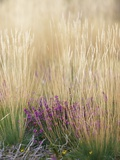 Purple Moor Grass (Molinia Caerulea) Photographic Print by Adrian Bicker