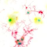 Brain Cells, Light Micrograph Photographic Print by Riccardo Cassiani-ingoni