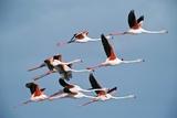 Greater Flamingoes Fotografisk tryk af Tony Camacho