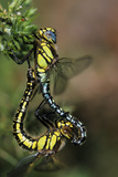 Hairy Dragonflies Mating Posters by Adrian Bicker
