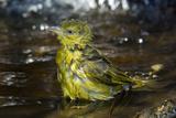 Holub's Golden Weaver Fotografisk tryk af Tony Camacho