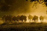 Wildebeest Herd Photographic Print by Tony Camacho