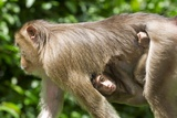 Southern Pig-tailed Macaque And Young Print by Tony Camacho