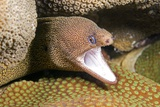 Goldentail Moray Eel Posters by Clay Coleman
