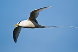 White-tailed Tropicbird Photographic Print by Peter Chadwick