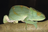 Parson's Chameleon Photographic Print by Tony Camacho