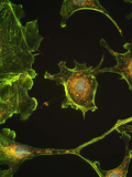 Human Epithelial Cells Posters by Riccardo Cassiani-ingoni