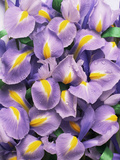 Iris Flowers (Iris Sp.) Photographic Print by Erika Craddock