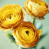 Ranunculus Flowers (Ranunculus Sp.) Photographic Print by  Cristina
