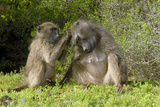 Chacma Baboons Grooming Photographic Print by Peter Chadwick