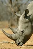 White Rhinoceros Photographic Print by Tony Camacho