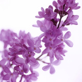 Lilac (Syringa Vulgaris) Photographic Print by  Cristina