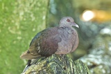 Malagasy Turtle Dove Photographic Print by Peter Chadwick