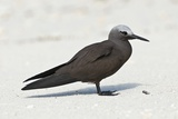 Lesser Noddy Photographic Print by Peter Chadwick