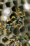 Paper Wasp Prints by Paul Harcourt Davies