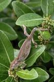 Robertson Dwarf Chameleon Photographic Print by Peter Chadwick