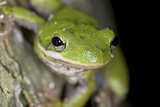 American Green Treefrog Photographic Print by Clay Coleman