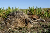 Ostrich Chick Photographic Print by Peter Chadwick