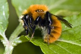 Common Carder Bumblebee Photographic Print by Paul Harcourt Davies