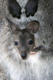 Red-necked Wallaby Joey Photographic Print by Tony Camacho