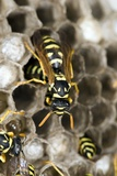 Paper Wasp Photographic Print by Paul Harcourt Davies