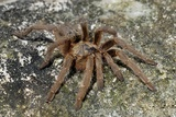 Baboon Spider Photographic Print by Peter Chadwick