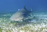 Lemon Shark And Remoras Photographic Print by Clay Coleman