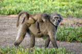 Chacma Baboon Mother And Young Posters by Peter Chadwick
