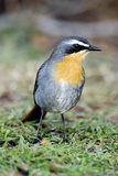 Cape Robin-chat Photographic Print by Peter Chadwick