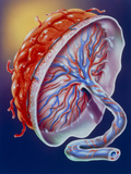 Illustration of the Human Placenta Photographic Print by John Bavosi