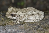 Gray Treefrog Photographic Print by Clay Coleman