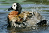 White-faced Whistling Duck Photographic Print by Peter Chadwick