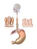 Human Digestive System, Artwork Photographic Print by Henning Dalhoff