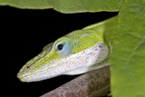 Female Green Anole Photographic Print by Clay Coleman