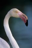 Greater Flamingo Photographic Print by Tony Camacho