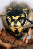 Stereomicroscope Picture of Head of Common Wasp. Photographic Print by Dr. Jeremy Burgess